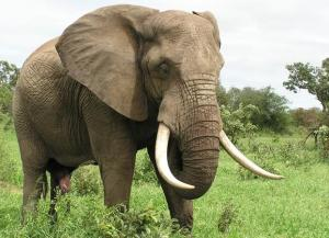 elephant w tusks