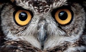 owl's face
