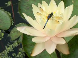 dragon fly and lily