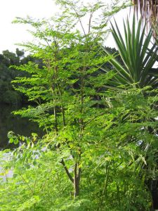 420px-Moringa-at-house-full-shoto-July-2009