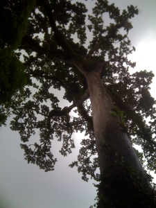 cotton tree looking up