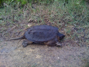 turtle-in-road-copy
